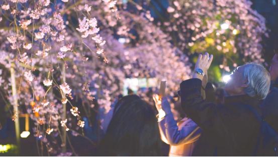 拒绝假樱花!日本东京正确赏樱攻略-看客路